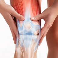 Graphic showing the muscles, tendons and bones in the knee